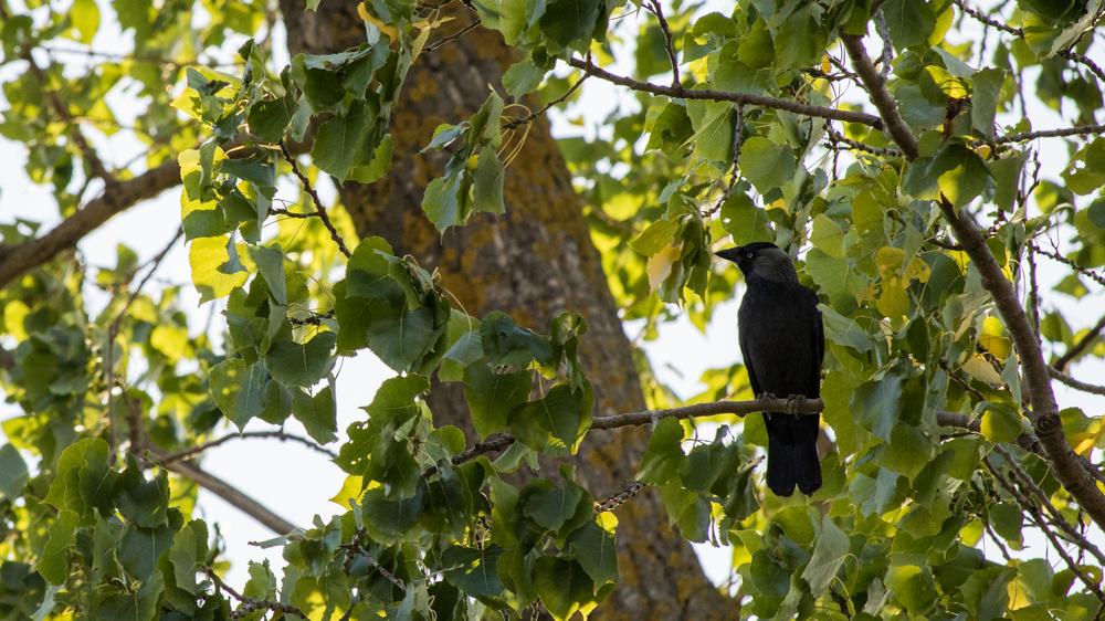 Eurasian Jackdaw (Corvus monedula) at Marais de Sionnet, Switzerland. July 2015. Not baited. Not called in.