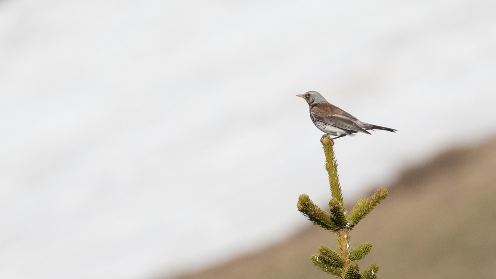 Fieldfare (Turdus pilaris) spotted while on a morning hike in Chaucisse, France. May 2016. Not baited. Not called in.