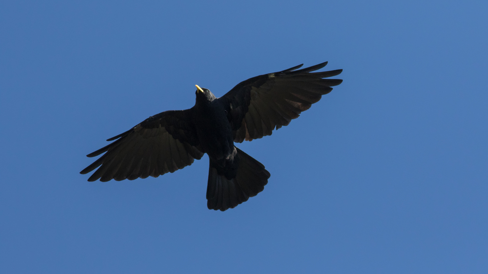 yellow-billed-chough-france