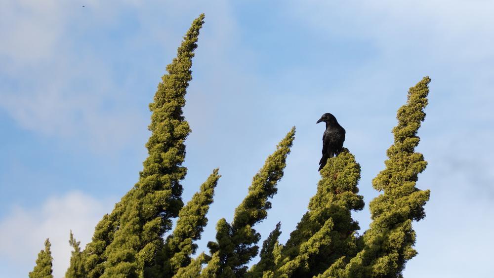 American Crow (Corvus brachyrhynchos) in Laguna Niguel, California, United States. December 2015. Not baited. Not called in