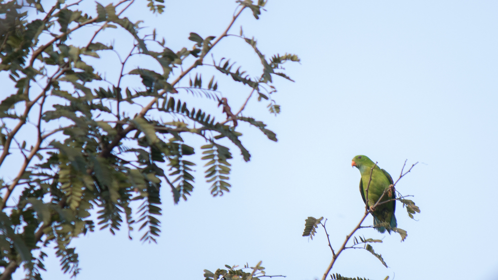 vernal-hanging-parrot-thattekad-kerala-india