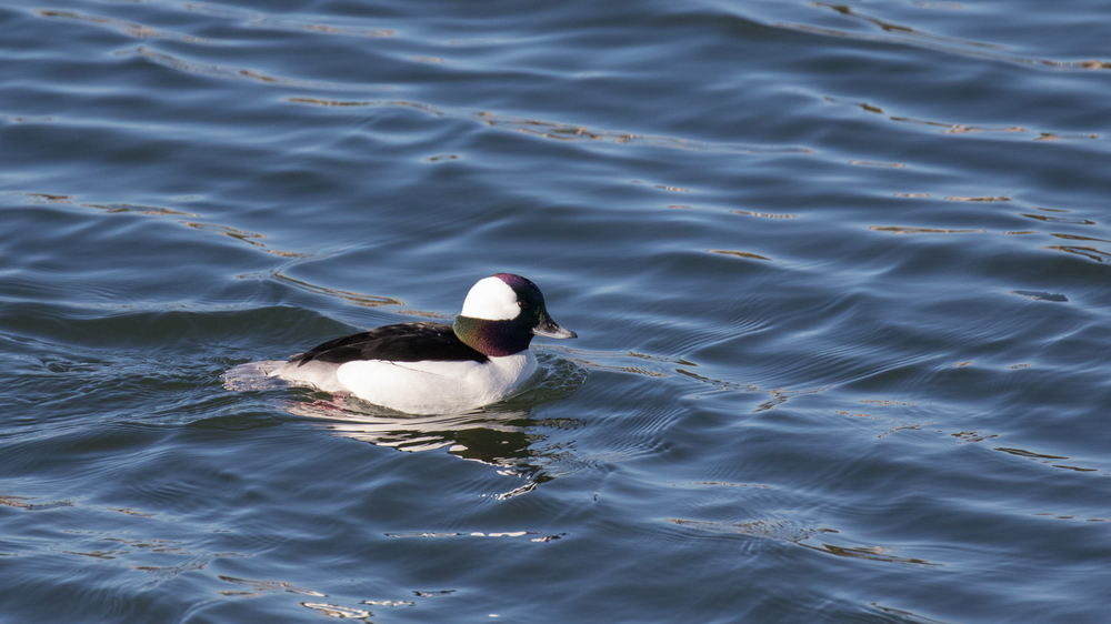 Male Bufflehead (Bucephala albeola) spotted at the fantastic Bolsa Chica Ecological Reserve, Orange County, California. December 2015. Not baited. Not called in.