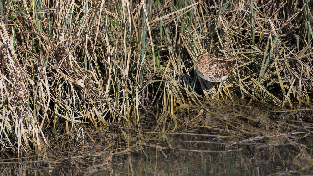 Common Snipe (Gallinago gallinago) at the Teppes de Verbois, Russin, Switzerland. March 2016. Not baited. Not called in.