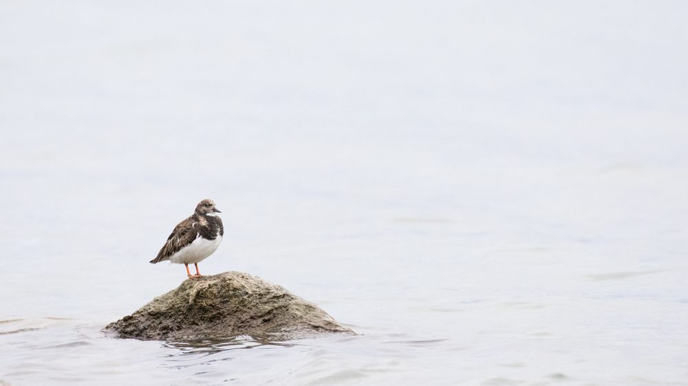 Ruddy Turnstone (Arenaria interpres) spotted at Baie d'Excenevex, France. January 2016. Not baited. Not called in.
