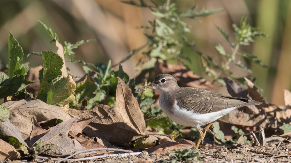 spotted-sandpiper-laguna-niguel-regional-park-california