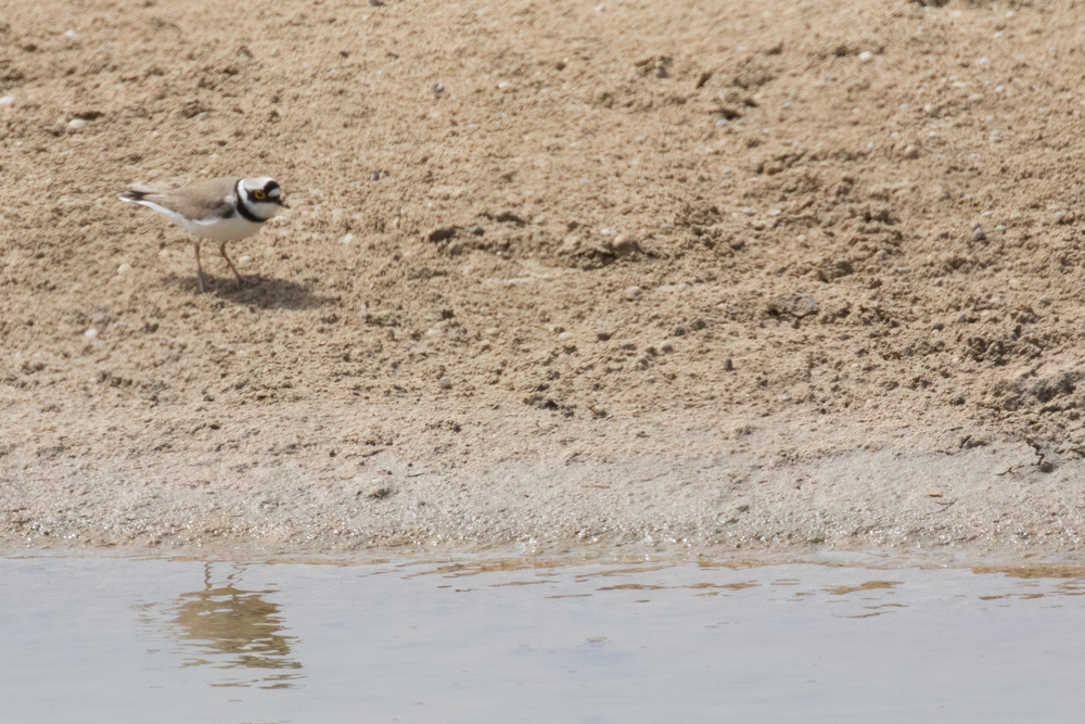 little-ringed-plover-ghadira-nature-reserve-malta