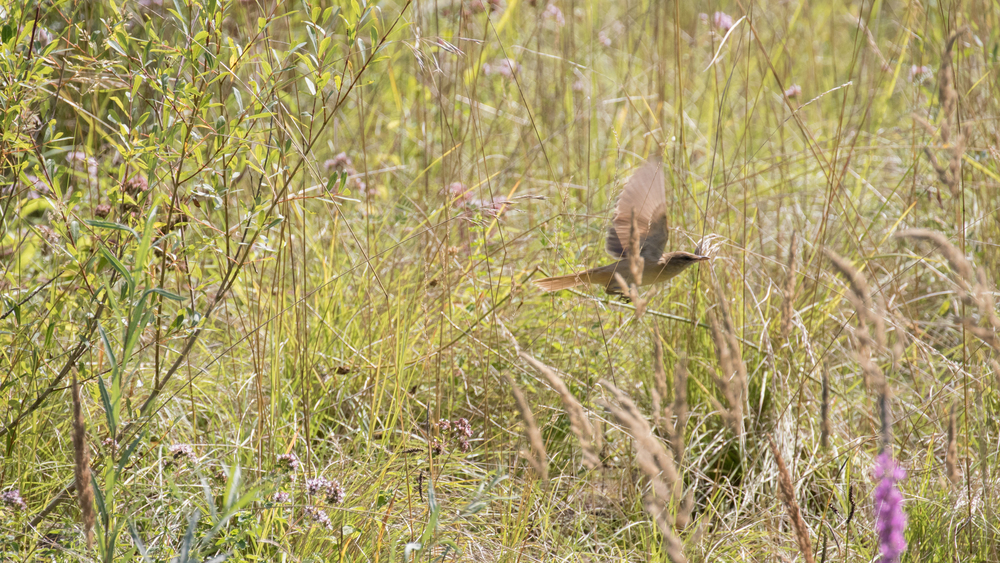 great-reed-warbler-teppes-de-verbois-russin-switzerland
