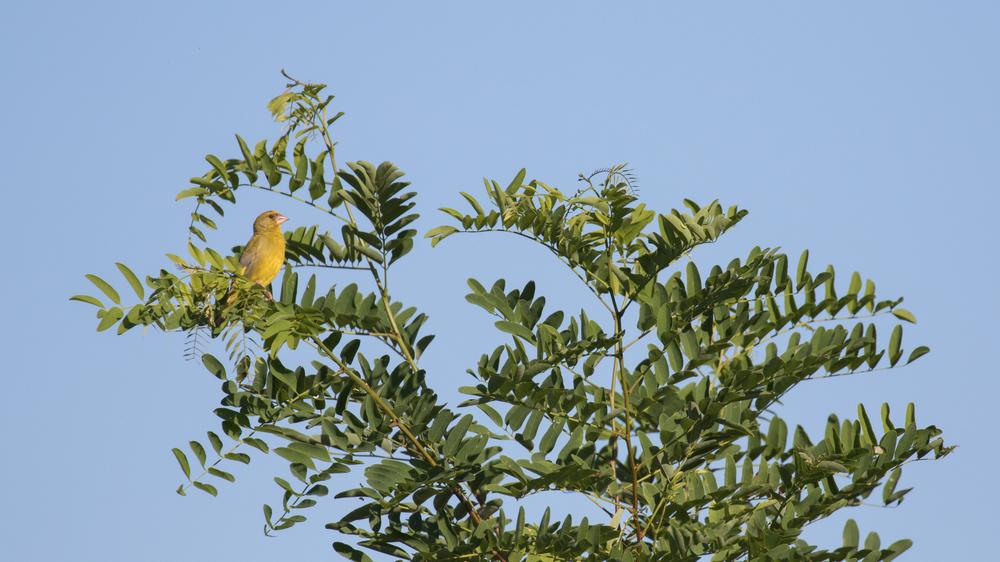 european-greenfinch-soral-switzerland