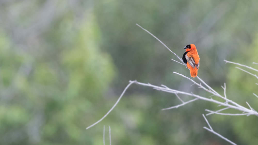 Male Northern Red Bishop (Euplectes franciscanus)