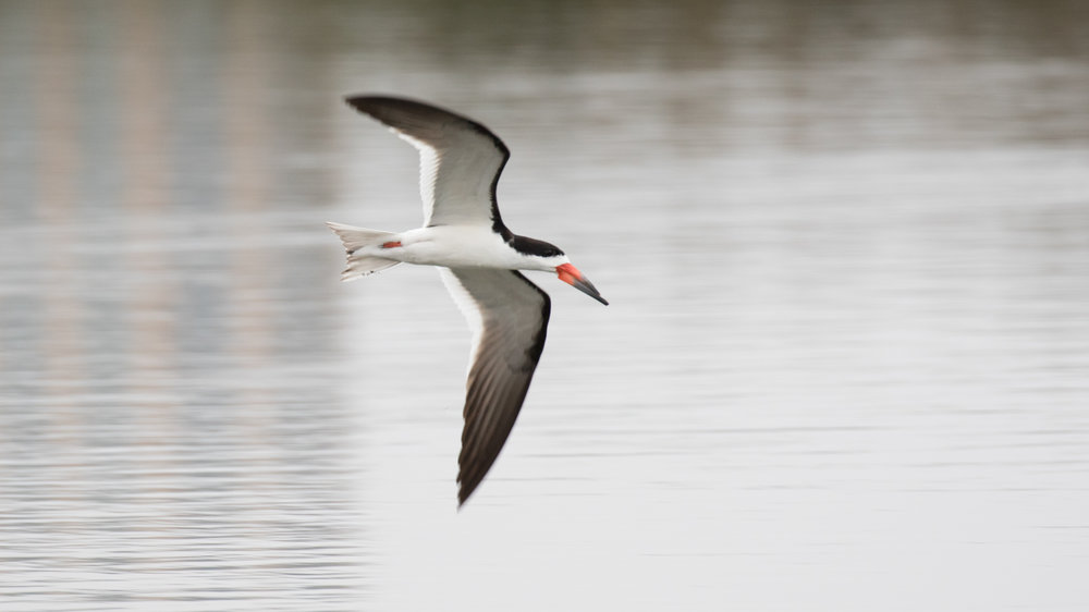 Black Skimmer (Rynchops niger)at the San Joaquin Wildlife Sanctuary in Irvine on August 2016.