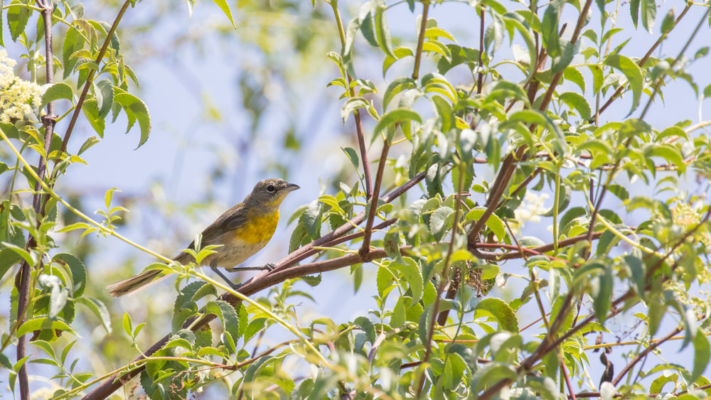 Yellow-breasted Chat (Icteria virens) at the entrance of the Laguna Niguel Regional Park, California, United States. Not baited. Not called in.