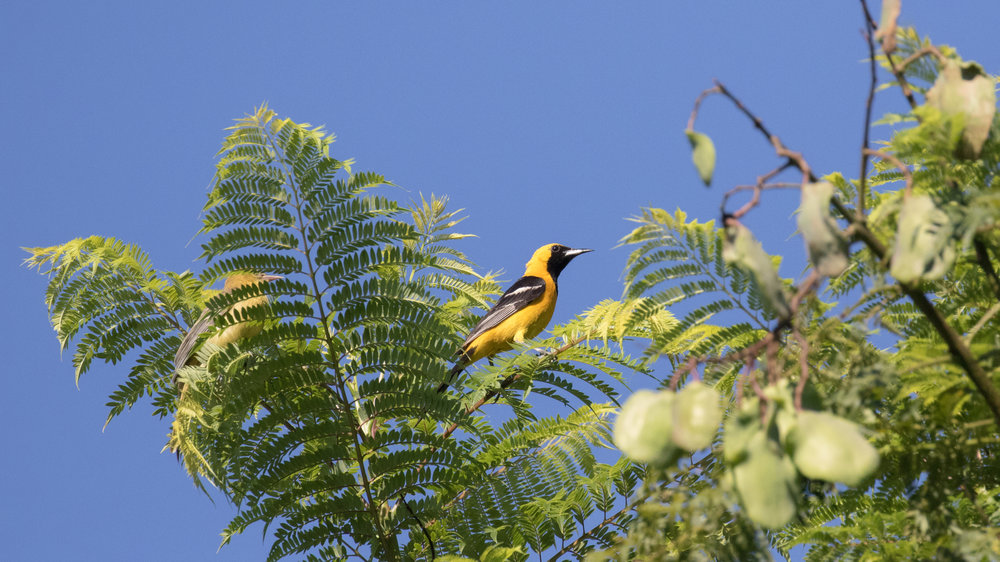 Male Hooded Oriole (Icterus cucullatus) in Oceanside, inland. August 2016.