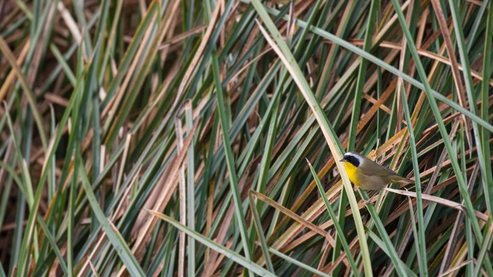 Common Yellowthroat (Geothlypis trichas) at Laguna Niguel Regional Park in December 2015.