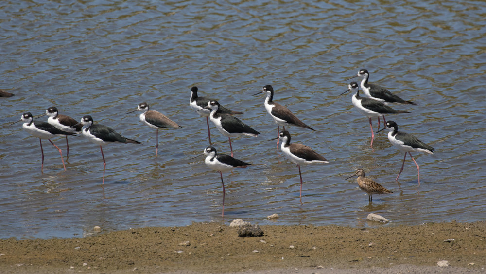Short-billed Dowitcher (Limnodromus griseus) among a group of Black-winged Stilts. San Joaquin Wildlife Sanctuary, August 2016. Not baited. Not called in.
