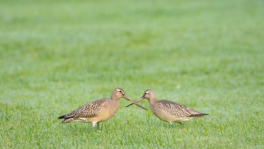 The 2 Bar-tailed Godwits together.