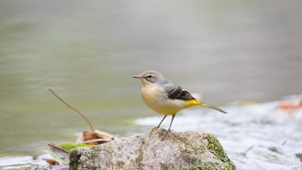 Grey Wagtail (Motacilla cinerea) in Gaillard, France. October 2016. Not baited. Not called in.