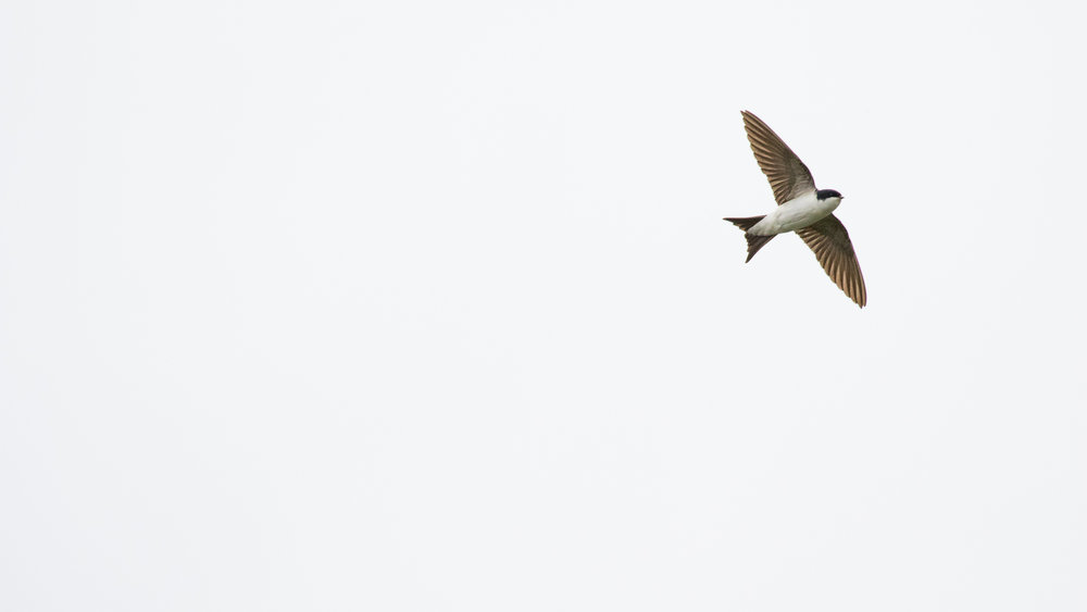 Northern House Martin (Delichon urbicum) at Marais de Sionnet, Switzerland. May 2016. Not baited. Not called in.