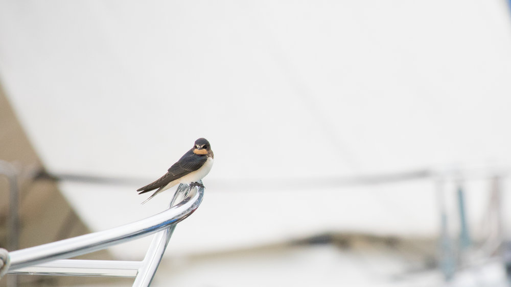 Juvenile Barn Swallow (Hirundo rustica) in Versoix, Switzerland. August 2015. Not baited. Not called in.