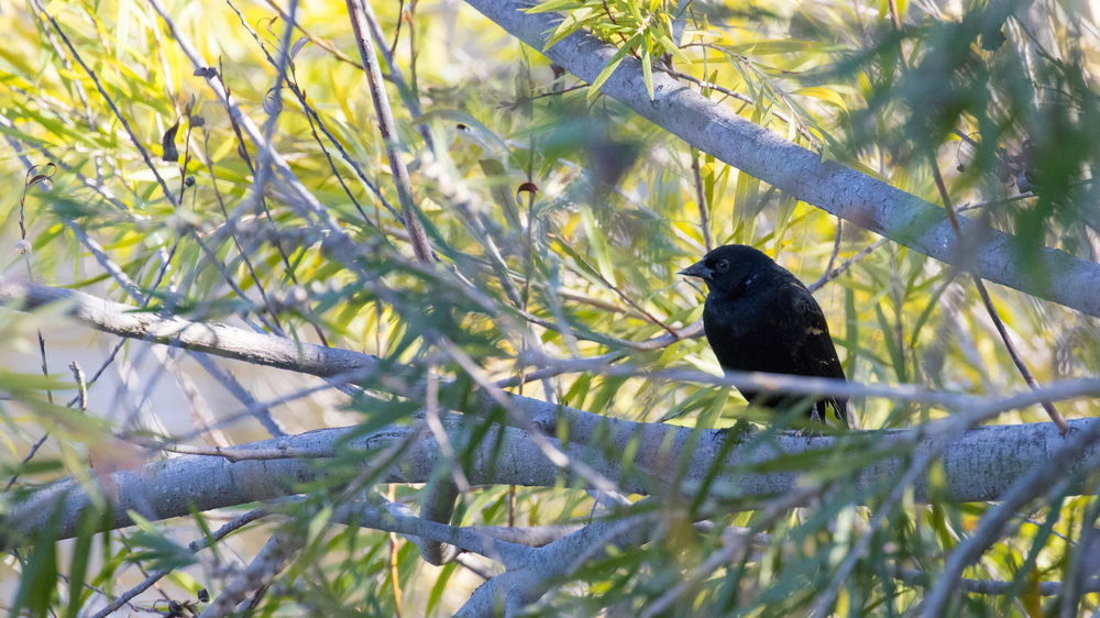 Red-winged Blackbird (Agelaius phoeniceus) in Laguna Niguel, United States. December 2015. Not baited. Not called in.