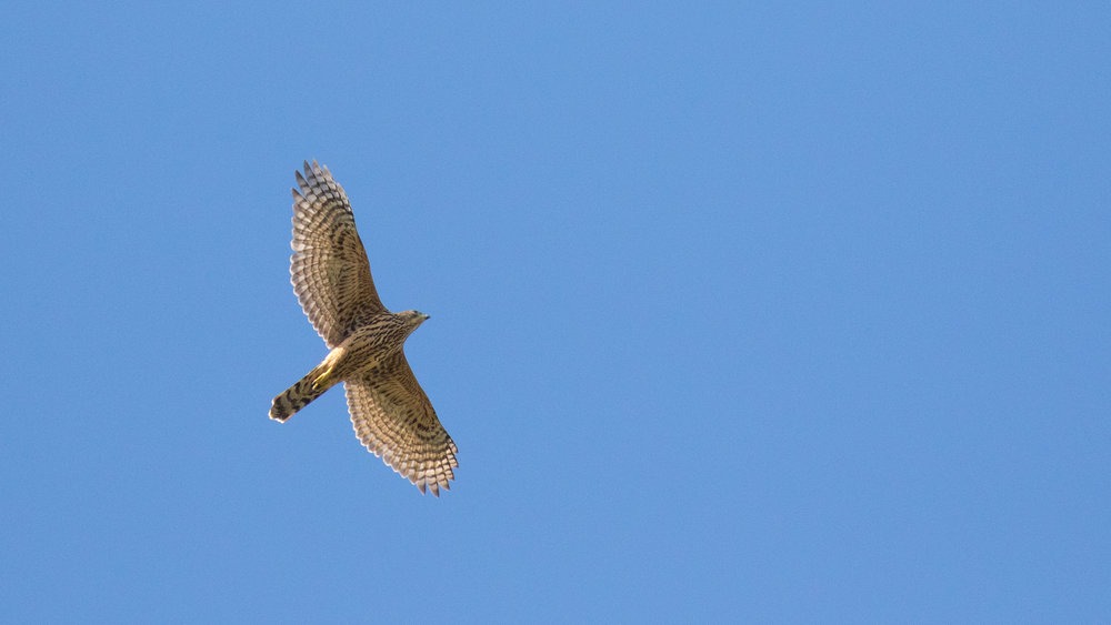 Eurasian Sparrowhawk (Accipiter nisus) in Peney, Switzerland. September 2016. Not baited. Not called in.