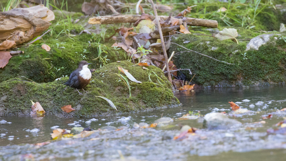 White-throated Dipper (Cinclus cinclus) in France. October 2016. Not baited. Not called in.