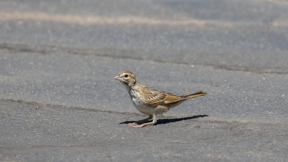 Juvenile Lark Sparrow (Chondestes grammacus) in Oceanside, California. August 2016. Not baited. Not called in.