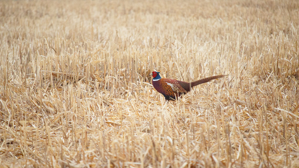 Male Common Pheasant (Phasianus colchicus) at Marais de Sionnet. March 2015. Not baited. Not called in.