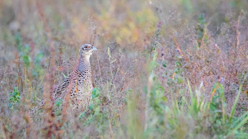 Female Common Pheasant (Phasianus colchicus) in Canton de Vaud, Switzerland. October 2016. Not baited. Not called in.