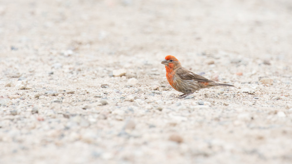 House Finch (Carpodacus mexicanus) at San Joaquin Wildlife Sanctuary, California. August 2016. Not baited. Not called in.