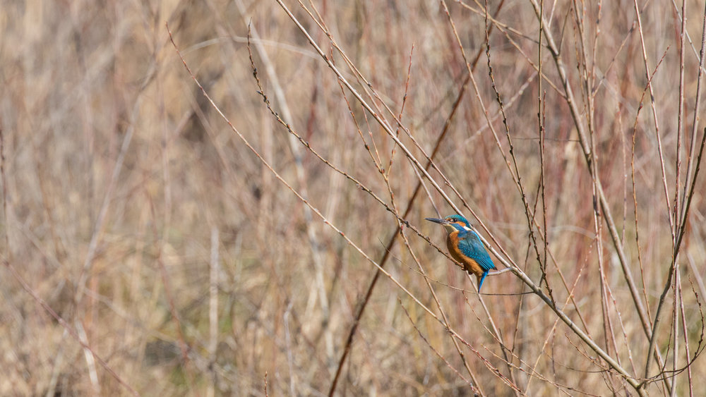 Common Kingfisher (Alcedo atthis) at Teppes de Verbois, Switzerland. March 2016. Not baited. Not called in.