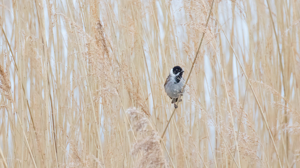 Male Reed Bunting (Emberiza schoeniclus) at Marais de Sionnet, Switzerland. March 2016. Not baited. Not called in.
