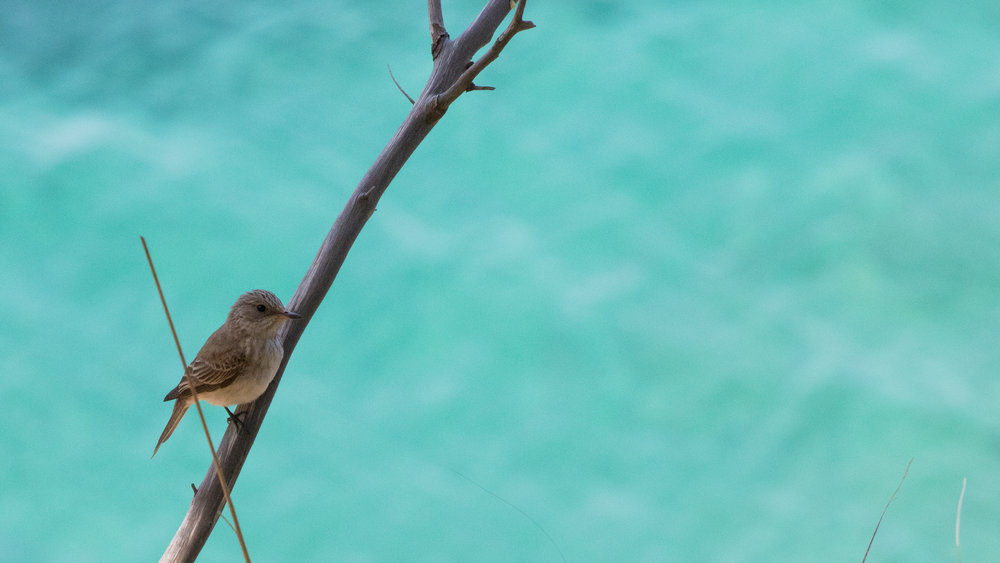 Adult Spotted Flycatcher (Muscicapa striata) in Mallorca, Spain. May 2015. Not baited. Not called in.