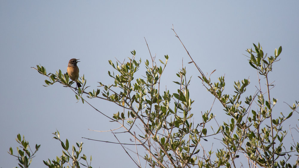 Female Common Stonechat (Saxicola torquatus) in Mallorca, Spain. May 2015. Not baited. Not called in.