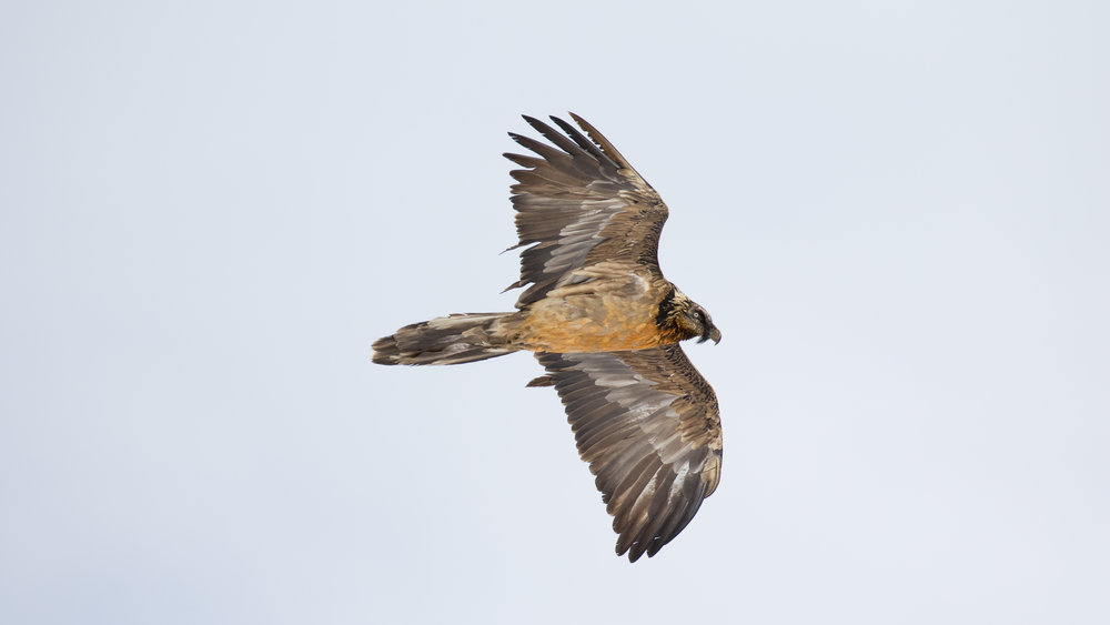 Immature Bearded Vulture (Gypaetus barbatus) in Canton of Valais, Switzerland. November 2016. Not baited. Not called in.