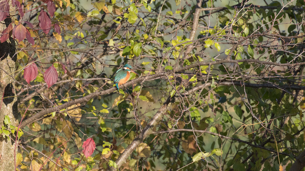 common-kingfisher-marais-de-sionnet-switzerland