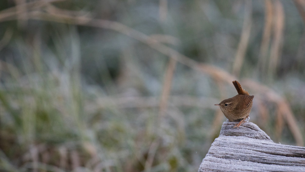 northern-wren-marais-de-sionnet-switzerland