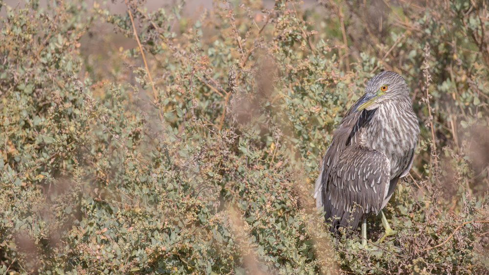 Juvenile Black-crowned Night-heron (Nycticorax nycticorax) in Dana Point, Orange County, California. August 2016. Not baited. Not called in.