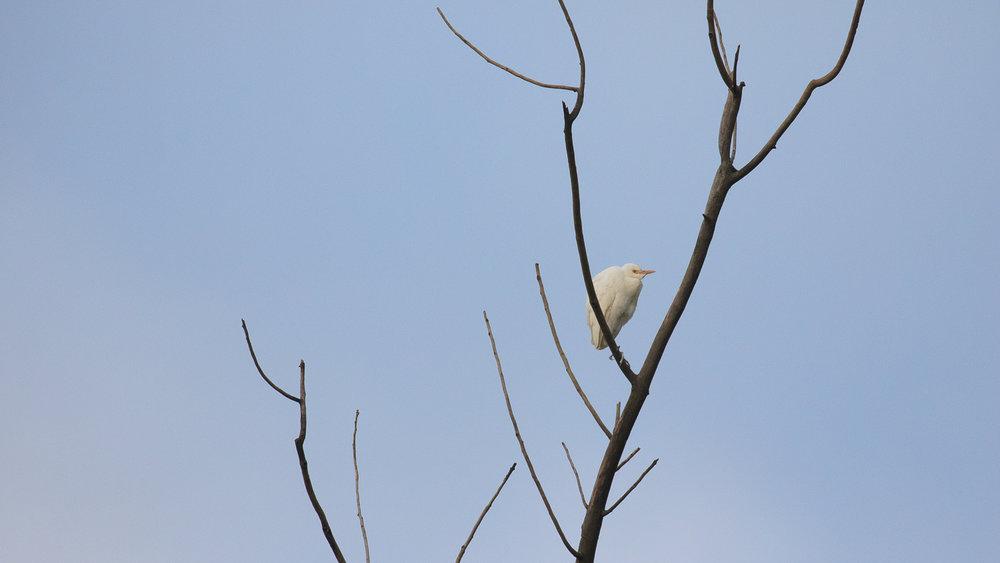 cattle-egret-marais-de-sionnet-switzerland