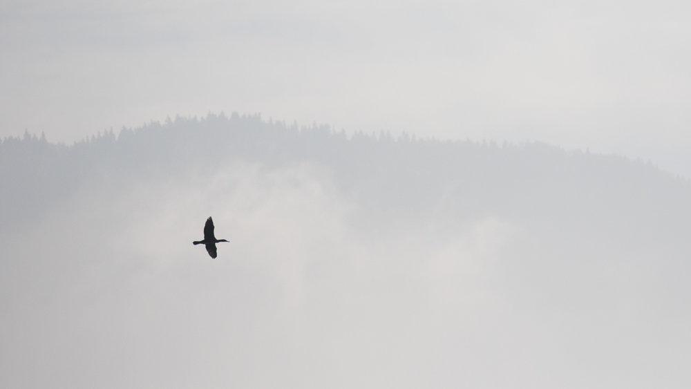 great-cormorant-marais-de-sionnet-switzerland