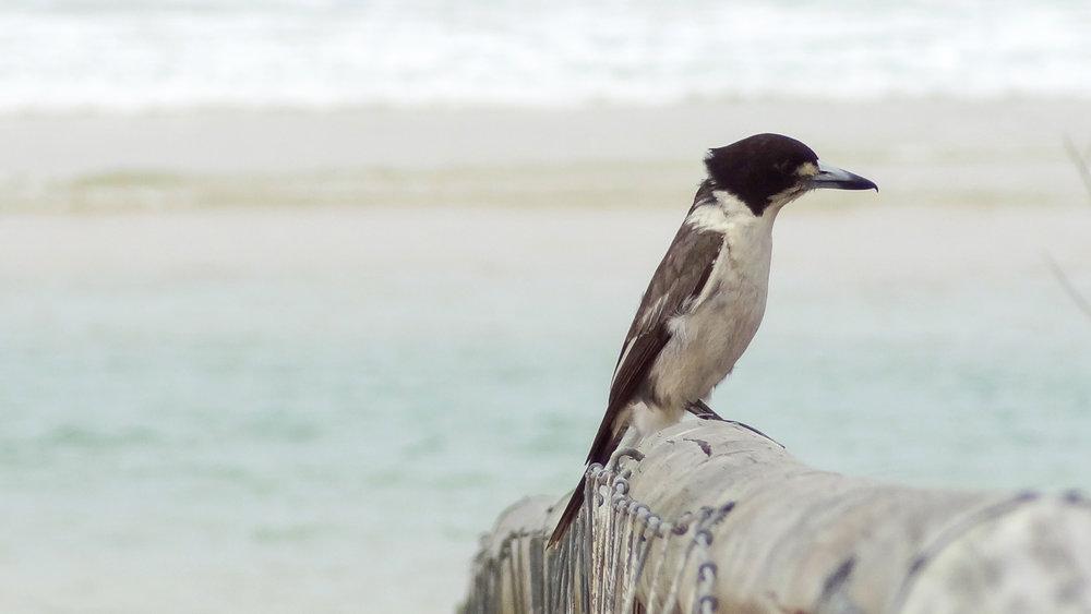 Grey Butcherbird (Cracticus torquatus) in Australia, September 2012. Not baited. Not called in.