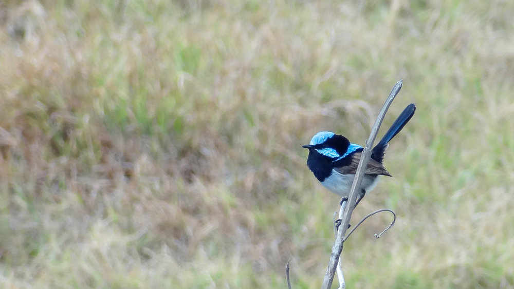 Superb Fairy-wren (Malurus cyaneus) in Broadbeach, Australia. September 2012. Not baited. Not called in.