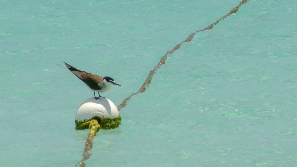 Bridled Tern (Onychoprion anaethetus) at Michaelmas Cay, Australia. October 2012. Not baited. Not called in.