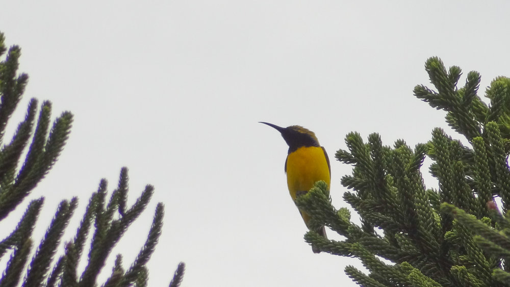 Olive-backed Sunbird (Cinnyris jugularis) at Hill Inlet lookout, Australia. October 2012. Not baited. Not called in.