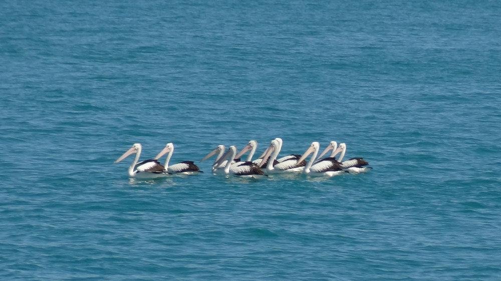 Australian Pelican (Pelecanus conspicillatus) in Queensland, Australia. October 2012. Not baited. Not called in.