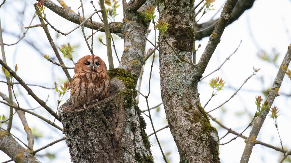 Tawny Owl (Strix aluco) in Canton of Genève, Switzerland. May 2016. Not baited. Not called in.