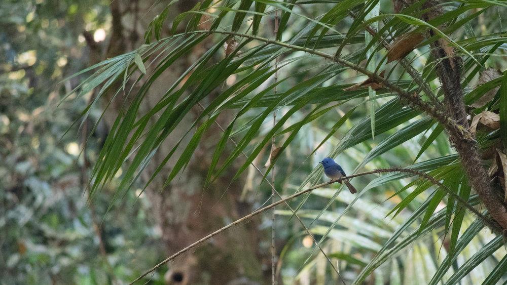 Black-naped Monarch (Hypothymis azurea) in Thattekad Bird Sanctuary, Kerala, India. February 2015. Not baited. Not called in.