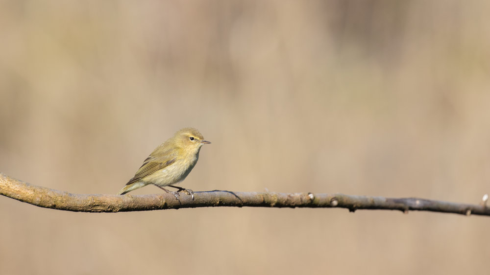 Common Chiffchaff (Phylloscopus collybita) at Teppes de Verbois in Russin, Switzerland. March 2016. Not baited. Not called in.
