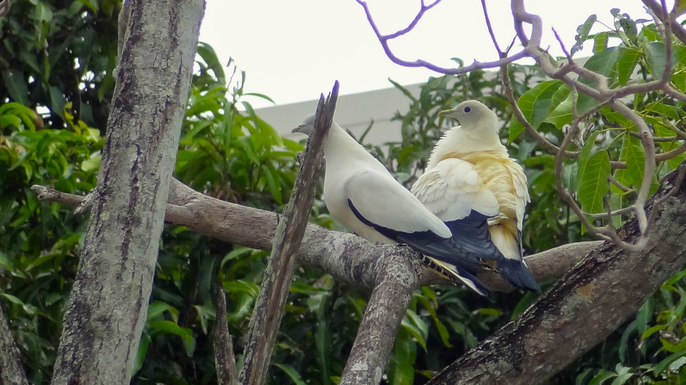 Pied Imperial-pigeons (Ducula bicolor) in Cairns, Australia. October 2012. Not baited. Not called in.