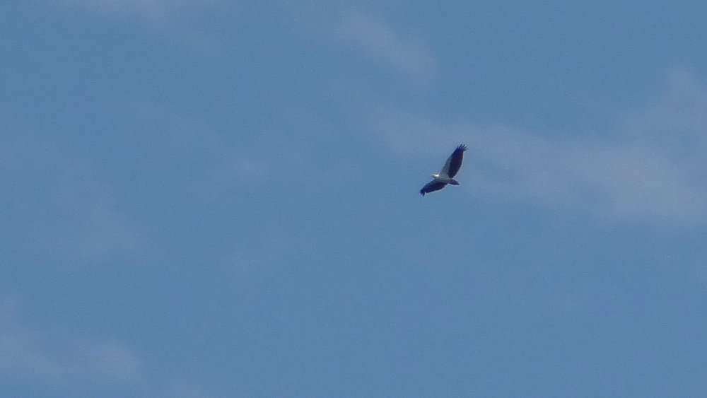 White-bellied Sea-eagle (Haliaeetus leucogaster) in Queensland, Australia. October 2012. Not baited. Not called in.
