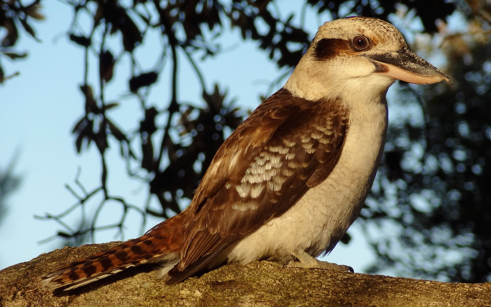 Laughing Kookaburra (Dacelo novaeguineae) at Byron Bay, Australia. October 2012. Not baited. Not called in.